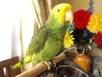 HAIND RAISD BABIE PARROT BIRDY CAGE FOR SALE
