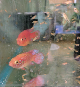 Proven pair of Red Jewell Cichlids.