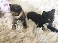 1 Tuxedo kitten & 1 Calico/Tortie kitten looking for their forever homes ♥