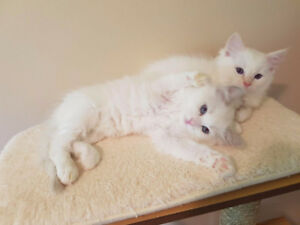 Flame Point Ragdoll kitten - TICA Registered Purebred