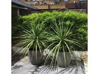 Two Cordyline Australis with pot