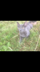 Little grey kitty found in Riverview around Hillsborough  road