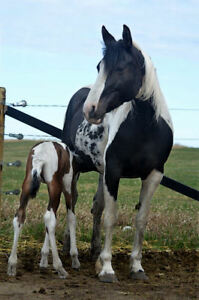 Champion producing homozygous tobiano mare