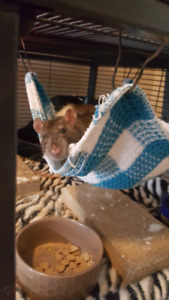 Looking to rehome male rat