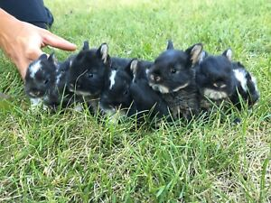 Adorable Holland Lop x Netherland Dwarf bunnies ONLY 4 LEFT!