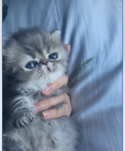 Beautiful grey and silver female, pure persian