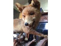 Fox on the hunt Vintage taxidermy