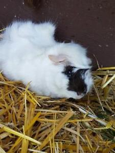 "Young Male Small & Furry - Guinea Pig: ""Flakes"""