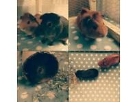 Free male guinea pigs