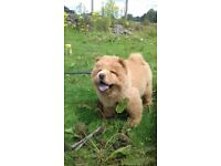 DUE TO TIME WASTER... chow chow puppy