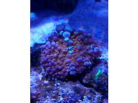 Corals for marine aquarium for sale