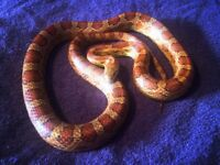 Corn Snake - Free to a Good Home. Please Read