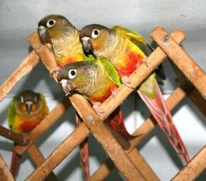 ❤★ Baby CONURES With CAGE★❤