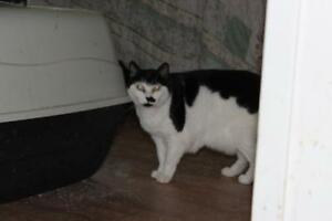 "Senior Female Cat - Domestic Short Hair (Black & White): ""Star"""