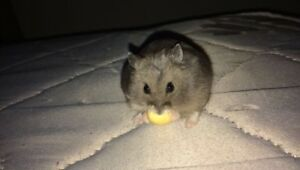 Adorable hamster for sale!