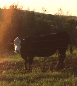 4 Year Old Cow/Calve Pair for Sale