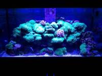 Marine aquarium long lash ultra green star polyps