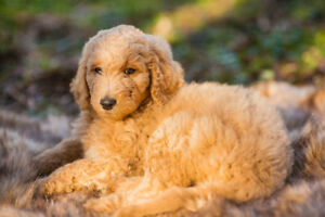 Adorable Goldendoodle Pups