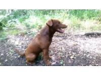 Patterdale terrier pups