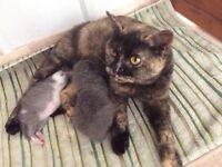 British shorthaired female cat