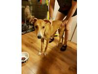 LURCHER IN NEED OF LOVING HOME