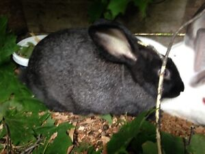 rabbits for sale 3 male