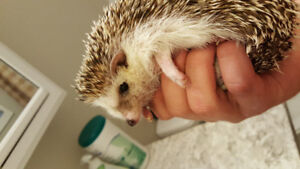 2 adult hedghogs, male and female 2 years old. $150 each