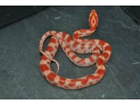 Corn Snake Hathclings