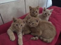 Home reared British Shorthair Kittens