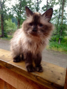 Lovely Female Himalayan