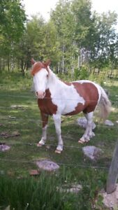 Paint Pony for Sale