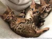 Pure Bengals Kittens