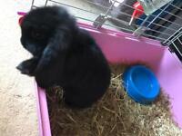 Black baby lop