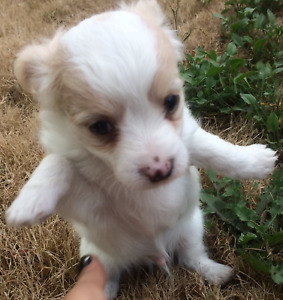 SWEET, LOVING, ADORABLE CHIHUAHUA PUPPIES FOR SALE!!!