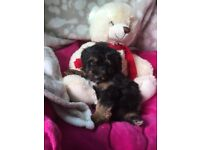 Beautiful Jackadoodle Puppies For Sale