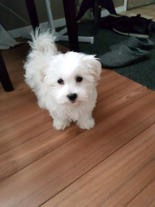** SOLD PENDING PICK UP **Maltese male (6months) $1000