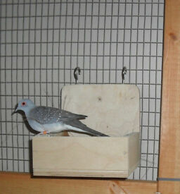 Diamond dove