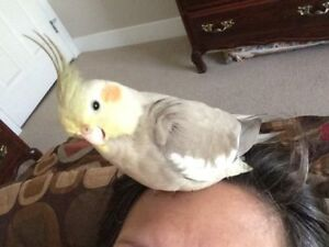 Missing Gray and yellow female cockatiel - PLEASE HELP!