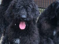 Poodle cross German Pointer Pups