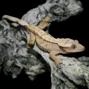 Stunning Crested Gecko Available