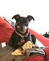 Looking for the breeder of my MinPin