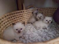 Pure Ragdoll kitten - JUST 1 BOY LEFT