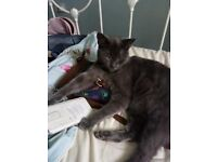 Handsome male cat for sale. Grey 4 year old in need of new homr