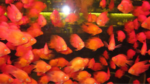 BLOOD PARROT FISH / PERROT ROUGE 15$