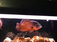 Oscar fish tiger & Albino healthy 5 to 6 inches approx