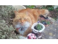 MISSING GINGER & WHITE LONG COATED CAT....REWARD OFFERED MISSING SINCE JULY 24TH RED COLLAR NEUTERED