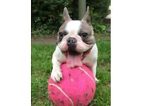 Amazing French Bulldog Francesco is looking for new loving home