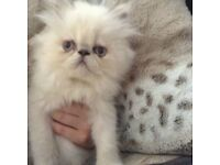 STUNNING LILAC COLOURPOINT PERSIAN MALE KITTEN
