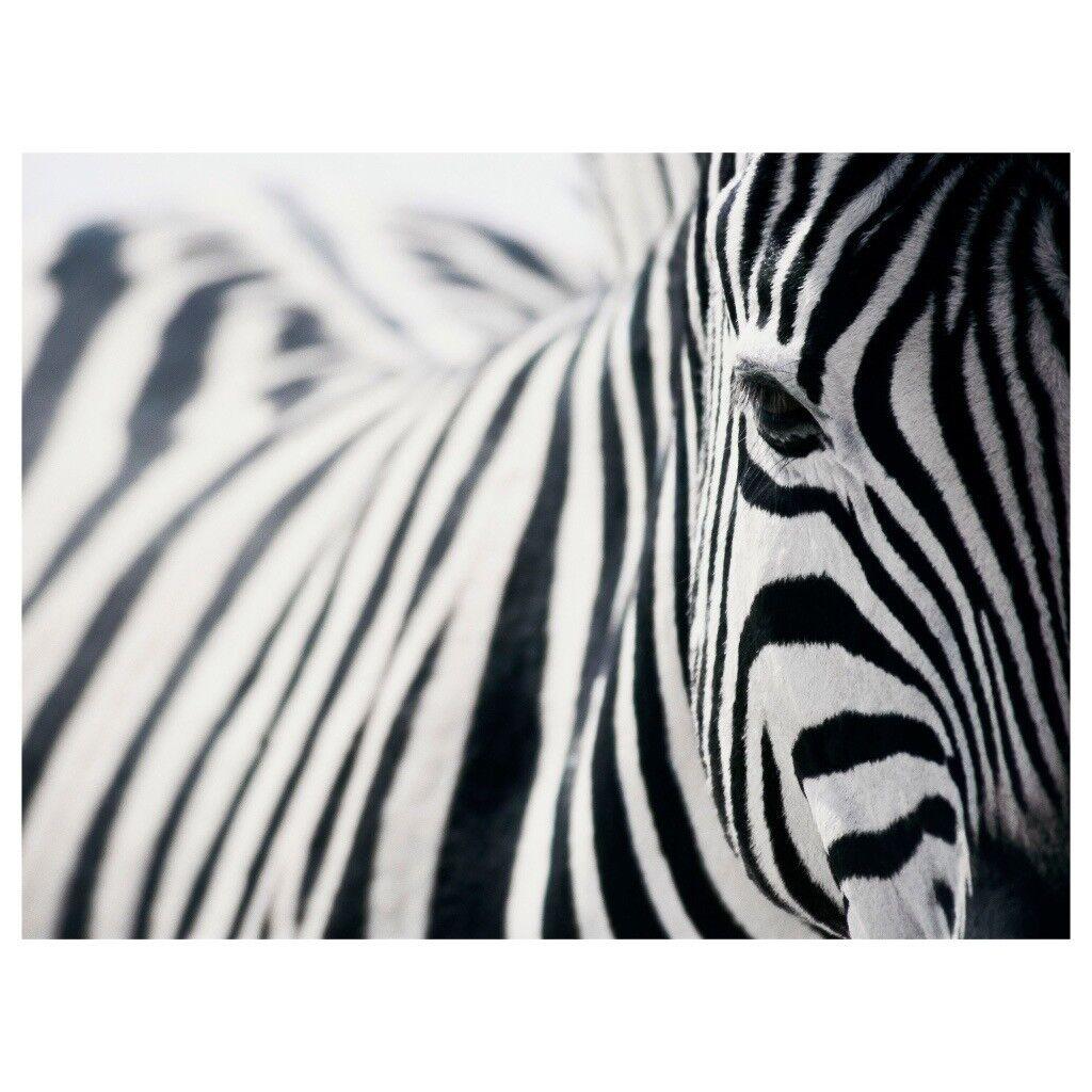 Ikea Zebra Canvas Print In Fountainbridge Edinburgh