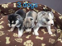 9 Pure bred Siberian husky pups